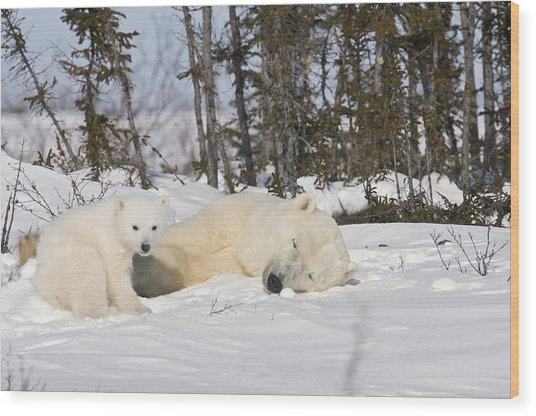 Polar Bear Mother Sleeps As Her Cub Looks Around Wood Print