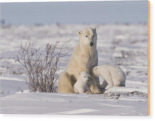 Polar Bear Nurses Cubs Wood Print