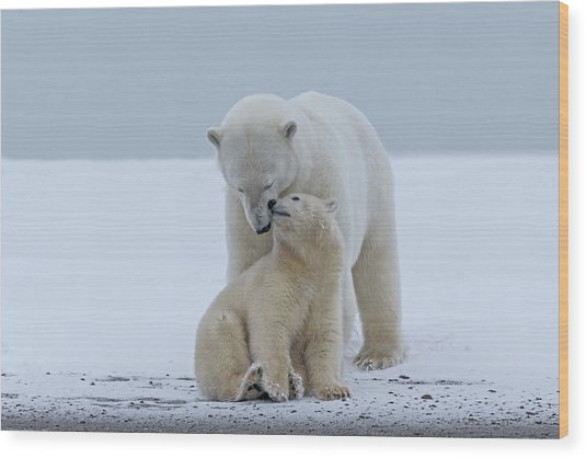 Polar Bear Wood Print by Sylvain Cordier