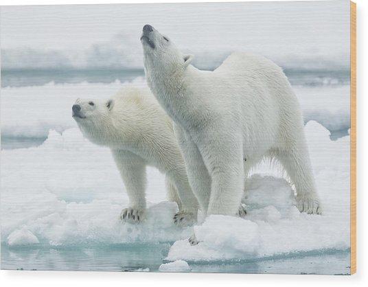 Polar Bears, Mother And Son Wood Print by Joan Gil Raga
