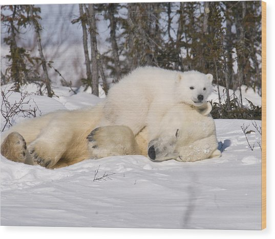 Polar Cub Hugs Its Sleeping Mother Wood Print