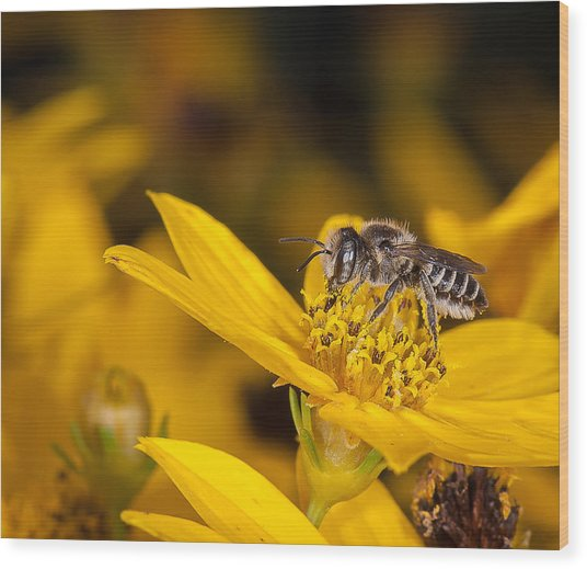 Pollenating Coreopsis Flower Wood Print