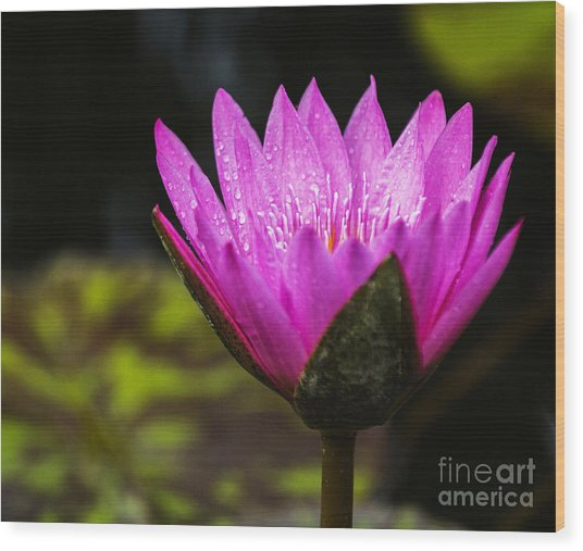 Pond Bloom Wood Print