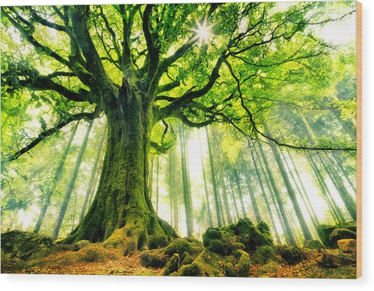 Ponthus' Beech Wood Print by Christophe Kiciak