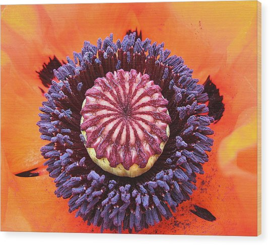 Poppy Delight Wood Print