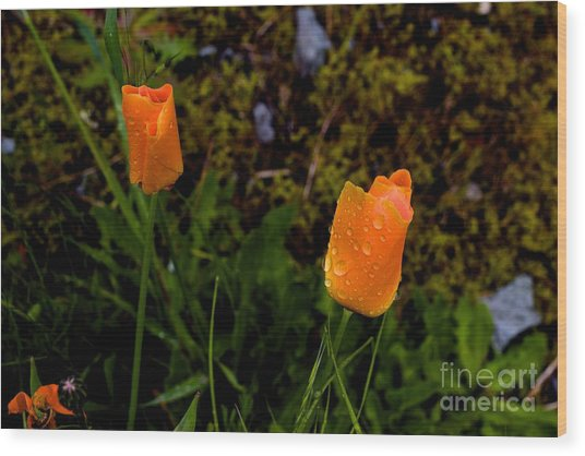 Poppy Drop Wood Print by Tim Rice