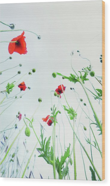 Poppy Flowers Against Blue Sky Wood Print by Silvia Otte