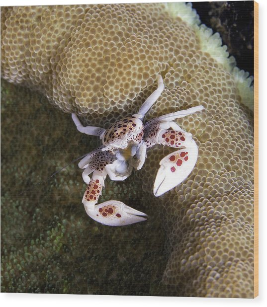 Porcelain Crab Wood Print by Paula Marie deBaleau