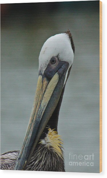 Portrait Of A Pelican Wood Print