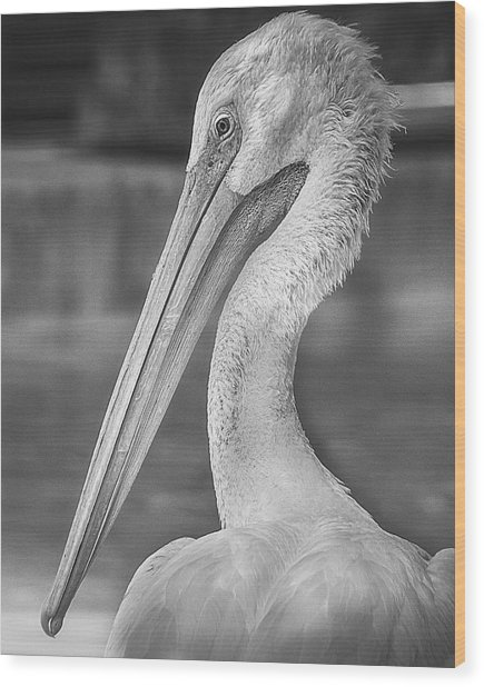 Portrait Of A Pelican Wood Print
