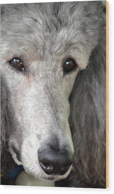 Portrait Of A Silver Poodle Wood Print