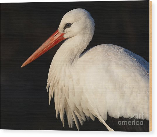 Portrait Of A Stork With A Dark Background Wood Print