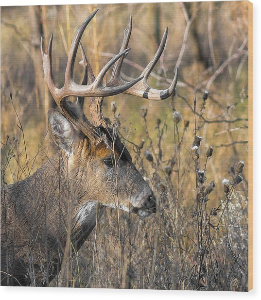 Portrait Of A Whitetail Wood Print