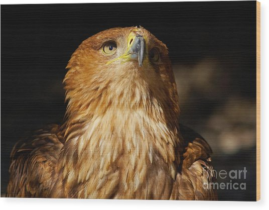Portrait Of An Eastern Imperial Eagle Wood Print