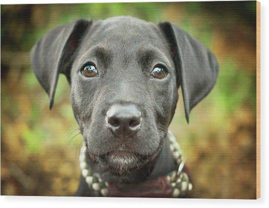 Portrait Of Black Lab Puppy Wood Print by Hillary Kladke