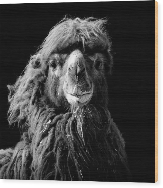 Portrait Of Camel In Black And White Wood Print