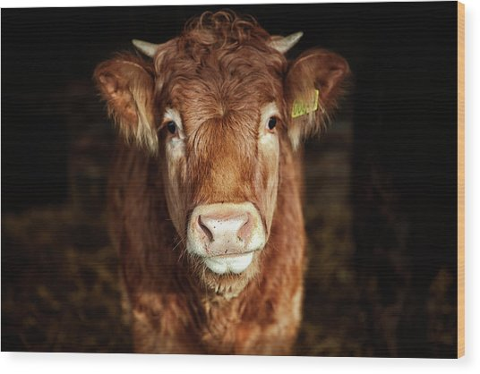 Portrait Of Young Cow Wood Print by T-lorien