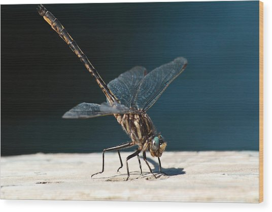 Posing Dragonfly Wood Print
