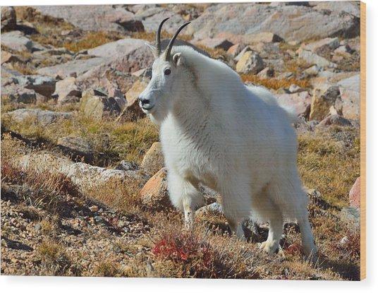 Posing Mountain Goat Wood Print