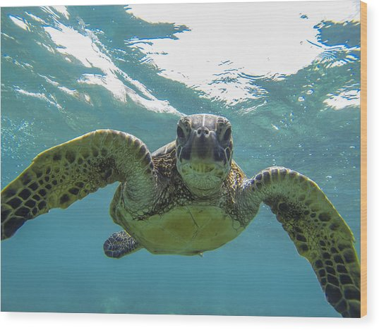Posing Sea Turtle Wood Print