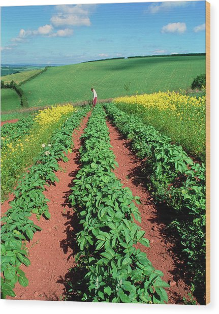 Potato Plants Flanked By Mustard On Organic Farm Wood Print by Martin Bond/science Photo Library