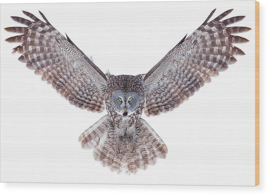 Power - Great Grey Owl Wood Print