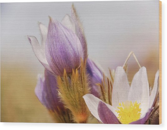 Prairie Crocus Wood Print