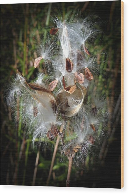 Prairie Milkweed Wood Print