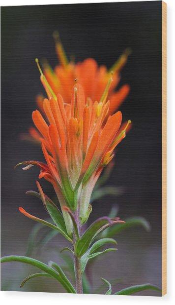 Prairie Paintbrush Flower Wood Print