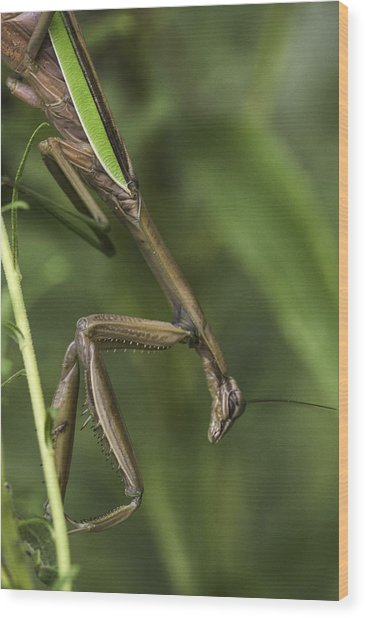 Praying Mantis 002 Wood Print