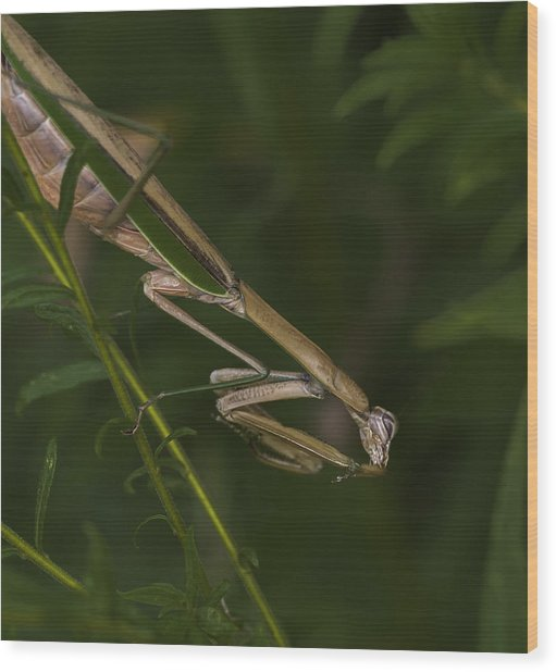 Praying Mantis 003 Wood Print