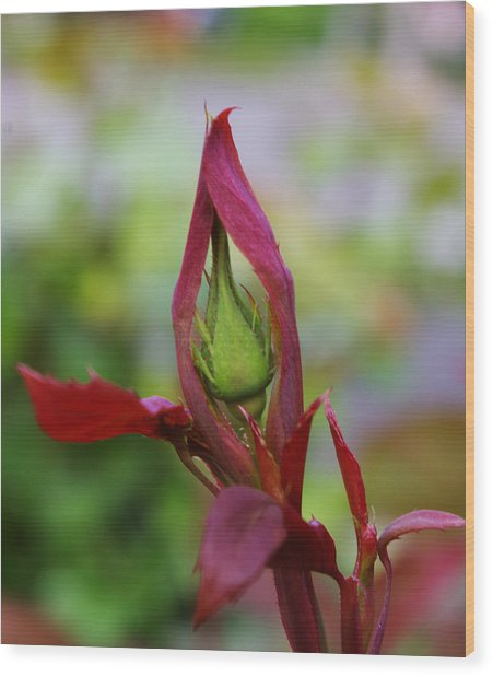 Praying Rosebud Wood Print by Christine Burdine