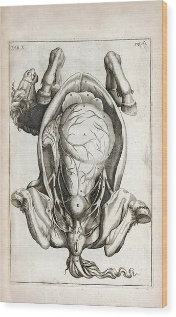 Pregnant Horse Anatomy Wood Print by National Library Of Medicine