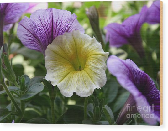 Pretty Yellow And Purple Petunias Wood Print