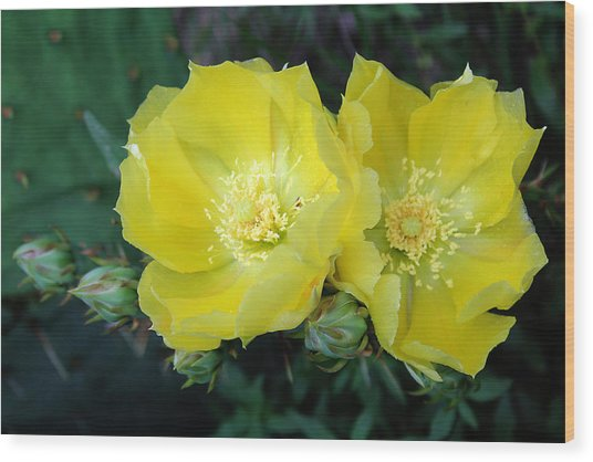 Prickly Pear Cactus Flowers No. 3 Wood Print