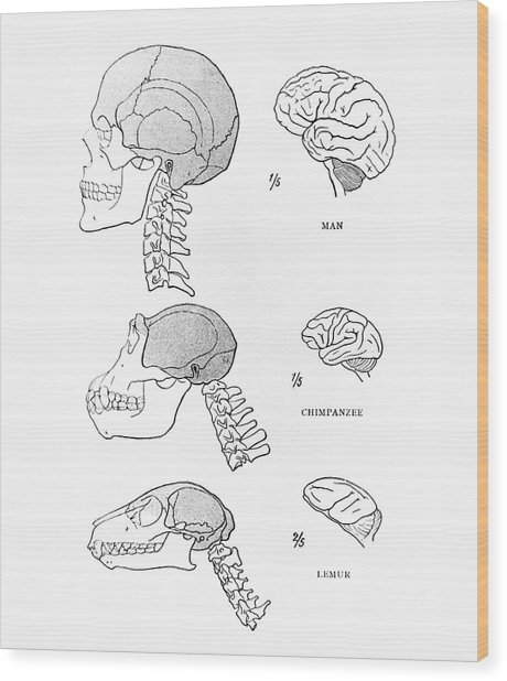 Primate Brains Wood Print by Science Photo Library