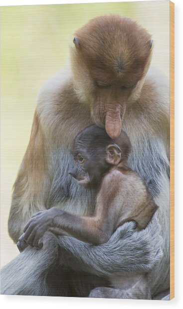 Proboscis Monkey Mother Holding Baby Wood Print