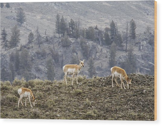 Pronghorn Does Wood Print by Jill Bell