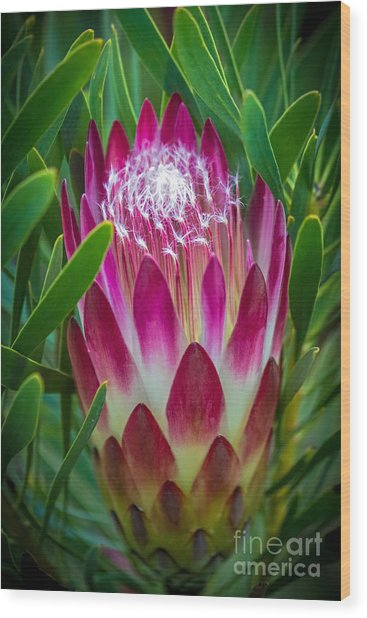 Protea In Pink Wood Print