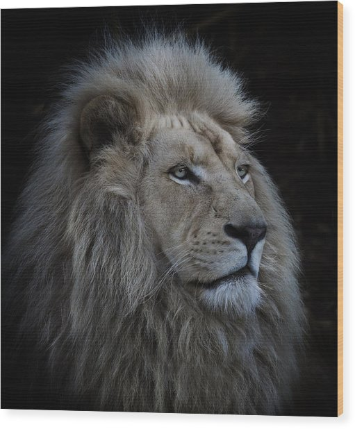Proud Lion Wood Print