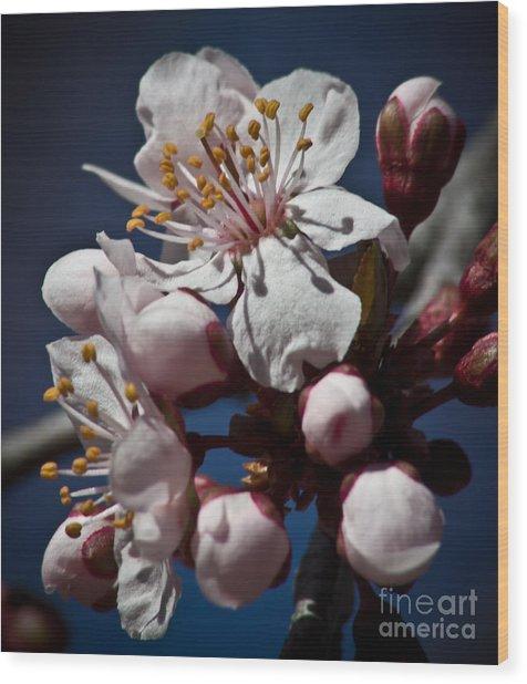 Prunus Armeniaca In Bloom Wood Print