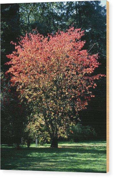 Prunus Sp Wood Print by Chris Dawe/science Photo Library