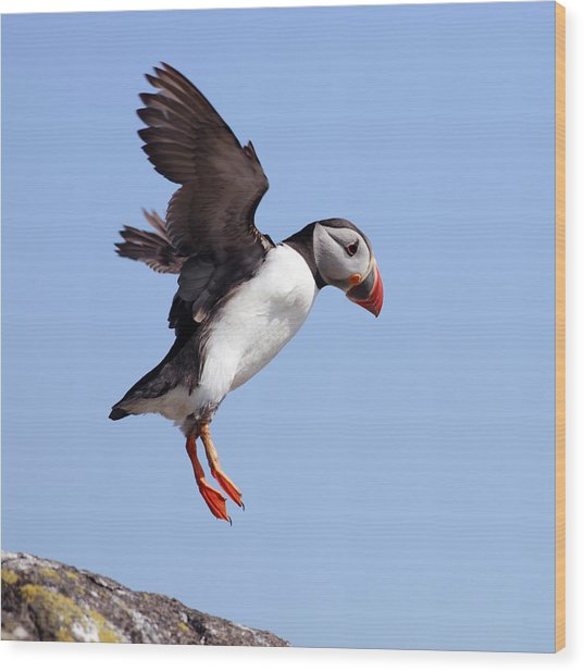 Puffin In Flight Wood Print