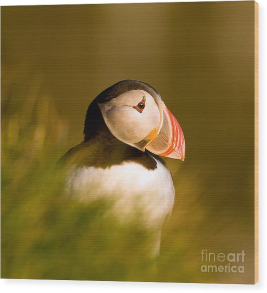 Puffin Portrait Wood Print by Wayne Bennett