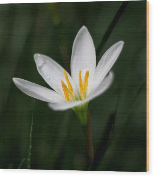 Pure White - Lily Wood Print