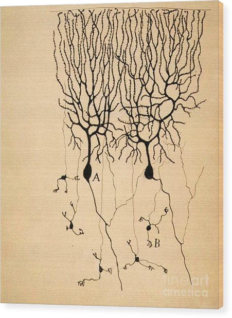 Purkinje Cells By Cajal 1899 Wood Print