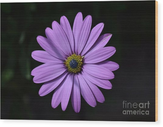 Purple African Daisy Wood Print