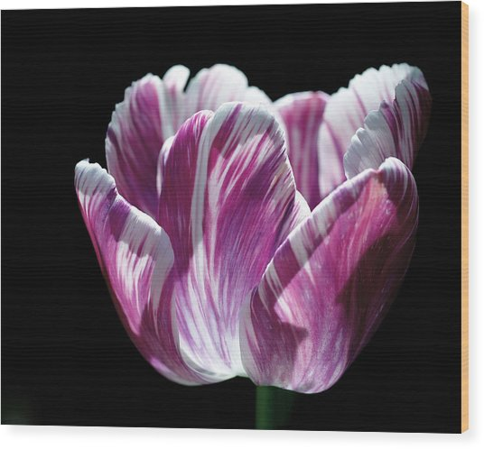 Purple And White Marbled Tulip Wood Print