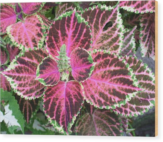 Purple Coleus With Seeds Wood Print by Dusty Reed