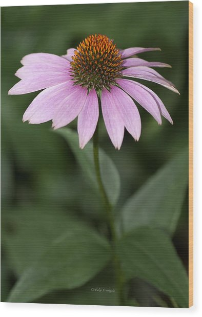 Purple Cone Flower Wood Print